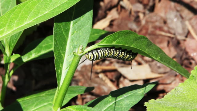 Monarch Butterfly Caterpillar eten een blad