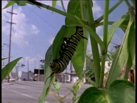 monarch butterfly caterpillar feeds on milkweed, town and moving cars in background, usa - animal colour stock videos & royalty-free footage