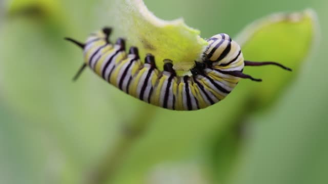 Monarch Butterfly Caterpillar Munching Away
