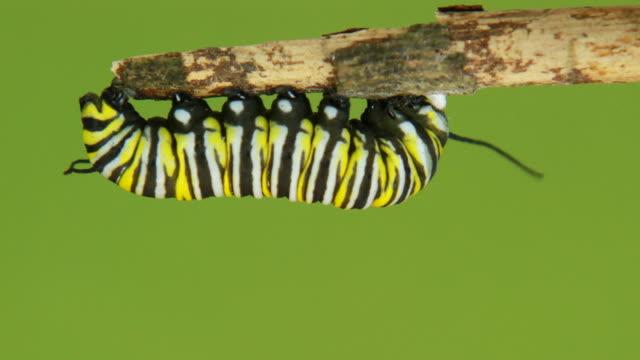 stockvideo's en b-roll-footage met monarch butterfly caterpillar - pop
