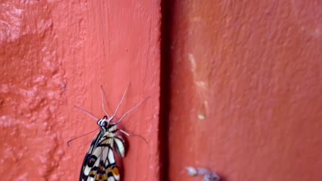 vidéos et rushes de chrysalise de papillon monarque émergeant de pupa ou cocoon sur le mur orange. - cocon
