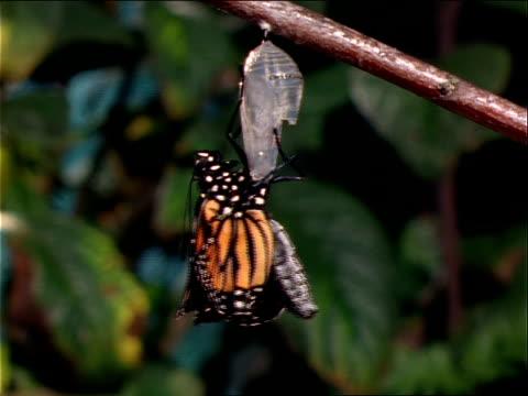 vidéos et rushes de a monarch butterfly emerges from a chrysalis. - cocon
