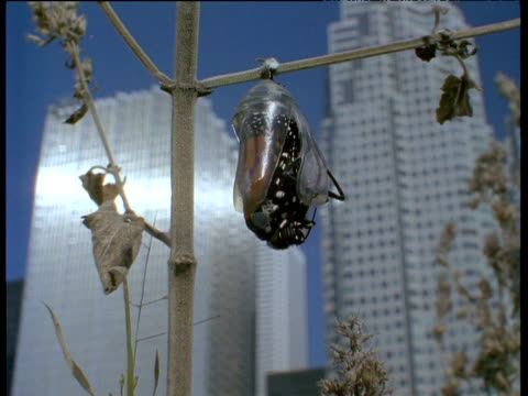 Monarch butterfly emerges from chrysalis skyscrapers in background