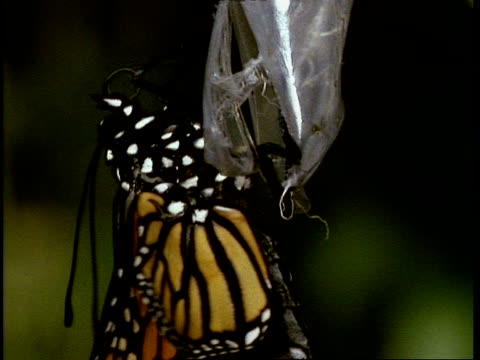 T/L Monarch butterfly emerging from chrysalis, close up