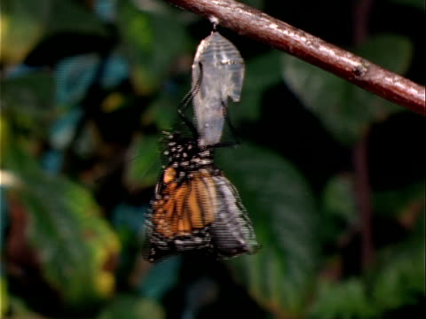 t/l, cu, monarch butterfly emerging from chrysalis hanging on branch, oregon, usa  - emergence stock videos & royalty-free footage