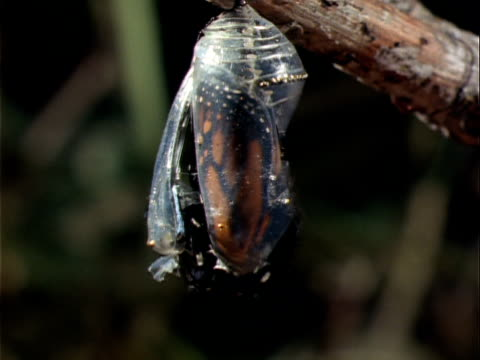 vidéos et rushes de t/l, cu, monarch butterfly emerging from chrysalis hanging on branch, oregon, usa  - cocon