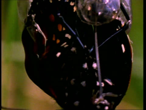 bcu monarch butterfly emerging from chrysalis, usa - entstehung stock-videos und b-roll-filmmaterial