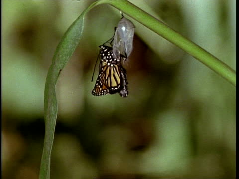 t/l - monarch butterfly emerging from chrysalis - emergence stock videos & royalty-free footage
