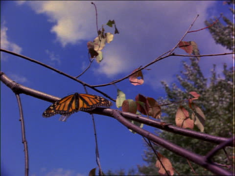 monarch butterfly emerging from cocoon on branch and flying away - 2001 stock-videos und b-roll-filmmaterial