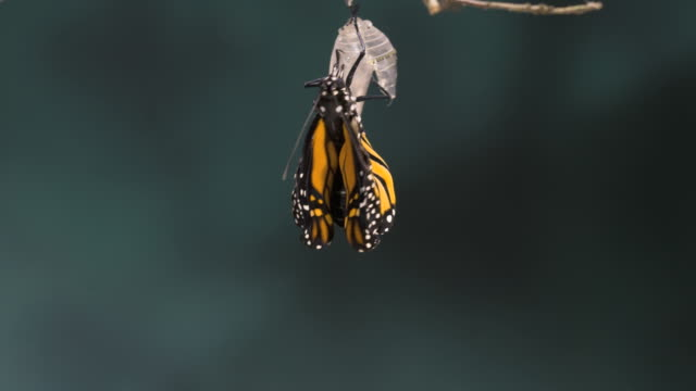 t/l monarch butterfly (danaus plexippus) emerging - cambiamento video stock e b–roll