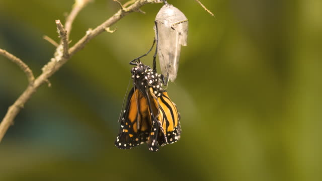 t/l monarch butterfly (danaus plexippus) emerging - neu stock-videos und b-roll-filmmaterial