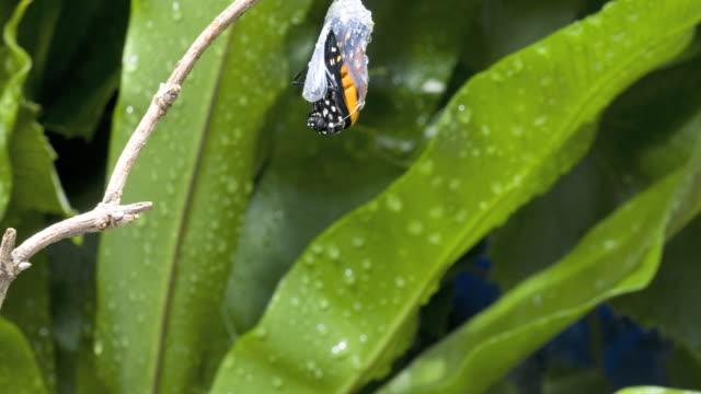 t/l monarch butterfly (danaus plexippus) emerging - farfalla video stock e b–roll