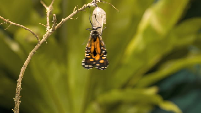 Monarch butterfly (Danaus plexippus) emerging