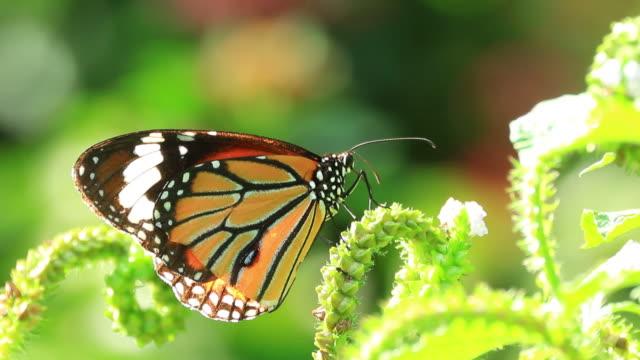 Monarch Butterfly feeding on green flower