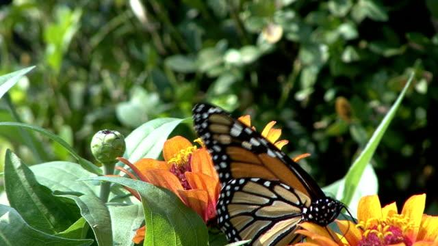 monarch butterfly feeding on orange flower - animal antenna stock videos & royalty-free footage