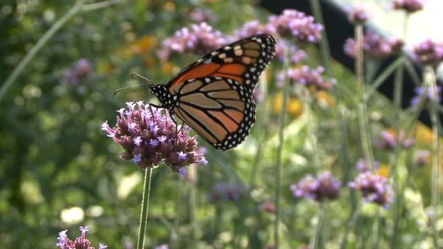 monarch butterfly feeding on purple flower - monarch butterfly stock videos & royalty-free footage
