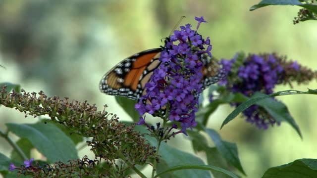 monarch butterfly feeding on purple flower - animal antenna stock videos & royalty-free footage