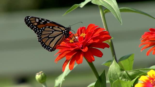 Monarch butterfly feeding on red flower