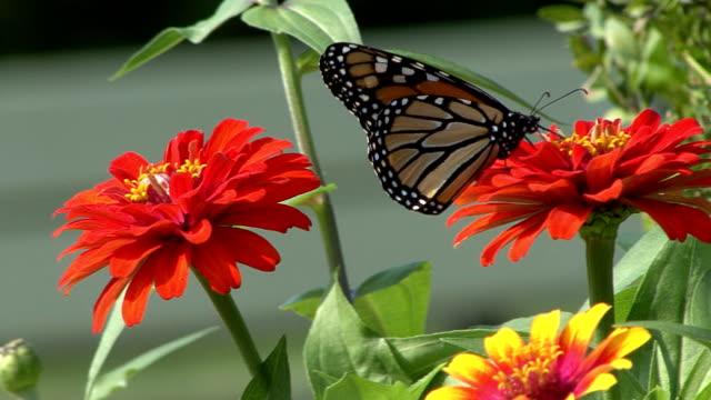 vídeos de stock e filmes b-roll de borboleta monarca de alimentação em flor vermelha - nariz de animal