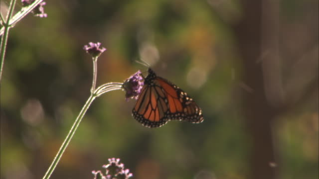 monarch butterfly feeds on verbena. - wildflower stock videos & royalty-free footage