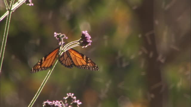 Monarch butterfly feeds on verbena.
