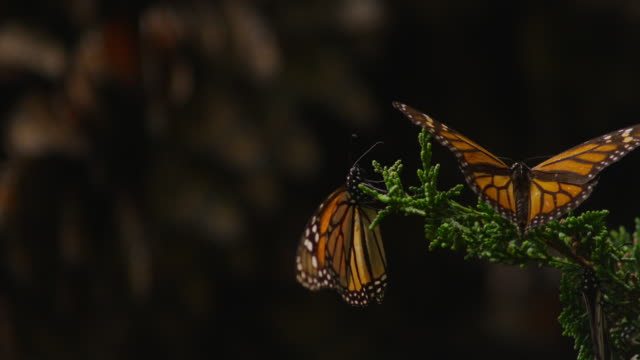 monarch butterfly flapping on tip of branch and second butterfly lands - farfalla monarca video stock e b–roll