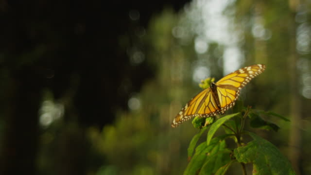 monarch butterfly flapping on tip of branch - farfalla monarca video stock e b–roll
