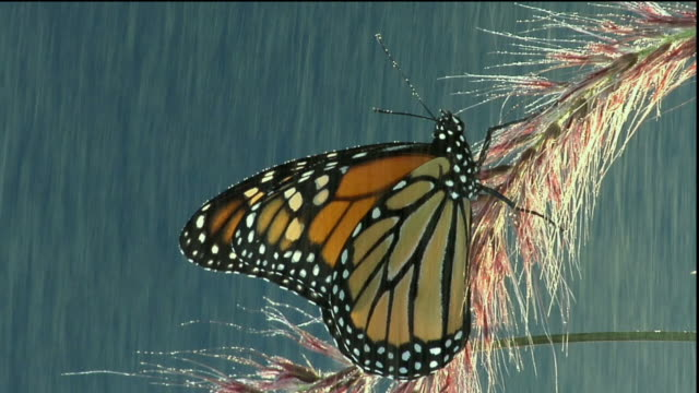 vídeos de stock e filmes b-roll de cu, monarch butterfly (danaus plexippus) flapping wings in rain, halifax, nova scotia, canada - um animal