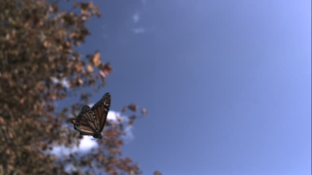 slomo monarch butterfly flies through autumn forest, usa - autumn stock videos & royalty-free footage