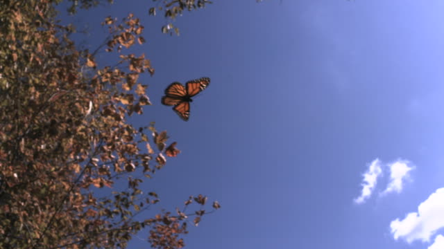 stockvideo's en b-roll-footage met slomo monarch butterfly flies through autumn forest, usa - herfst