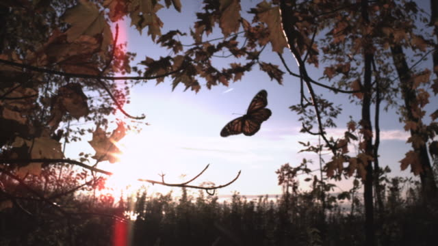 slomo monarch butterfly flies through autumn forest, usa - farfalla video stock e b–roll