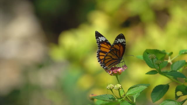 monarch butterfly fly on small pink flower slow motion - butterfly stock videos & royalty-free footage