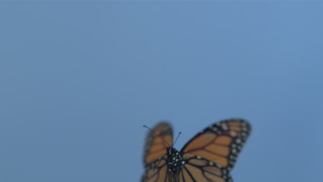 monarch butterfly (danaus plexippus) flying against blue screen, right to left - farfalla video stock e b–roll
