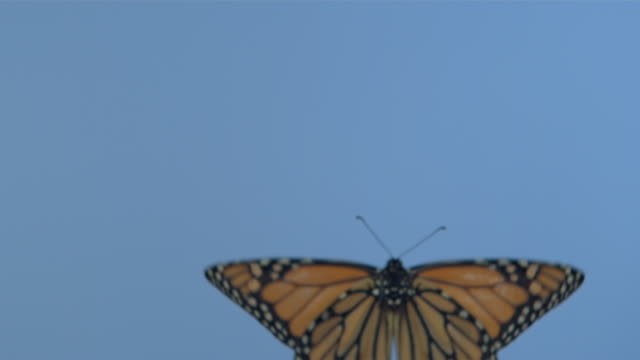 Monarch butterfly (Danaus plexippus) flying against blue screen