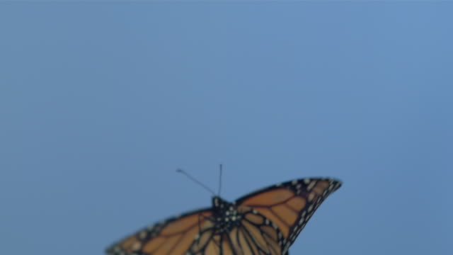 vidéos et rushes de monarch butterfly (danaus plexippus) flying against blue screen - prise accélérée