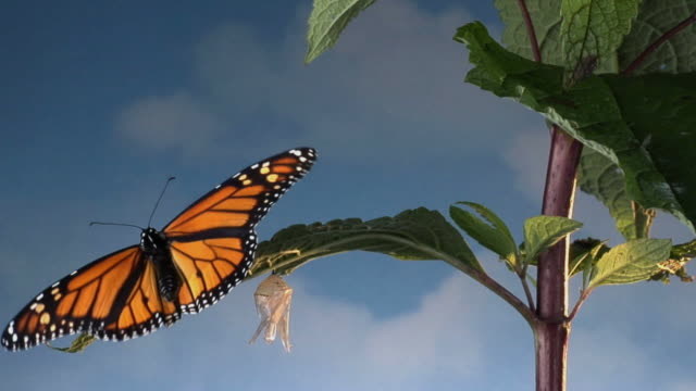MS, Monarch butterfly (Danaus plexippus) flying away, empty chrysalis on twig, Halifax, Nova Scotia, Canada