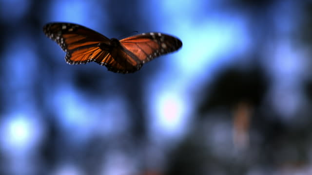 slomo ms monarch butterfly flying in forest clearing from camera - farfalla video stock e b–roll
