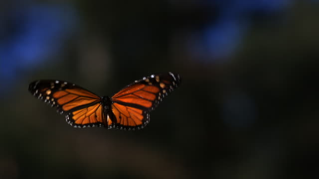 slomo ms tu monarch butterfly flying in forest clearing from camera - farfalla video stock e b–roll