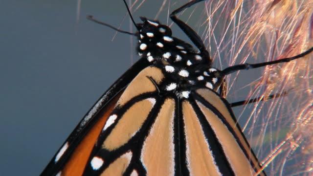vídeos de stock e filmes b-roll de cu, td, monarch butterfly (danaus plexippus), halifax, nova scotia, canada - um animal