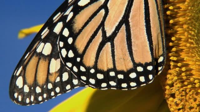 vídeos de stock e filmes b-roll de cu, tu, monarch butterfly (danaus plexippus), halifax, nova scotia, canada - um animal