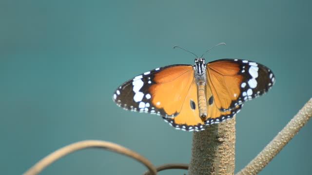monarch butterfly hd - monarch butterfly stock videos & royalty-free footage