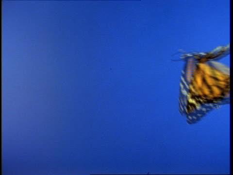 CU Monarch butterfly (Danaus plexippus) in flight against blue screen
