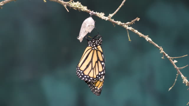 T/L Monarch butterfly (Danaus plexippus) newly emerged adult pumping abdomen and expanding wings