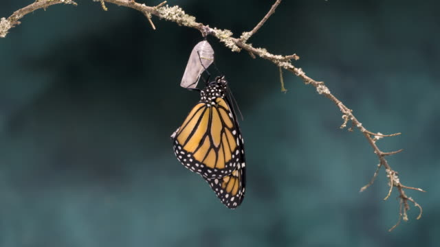 T/L Monarch butterfly (Danaus plexippus) newly emerged expanding wings