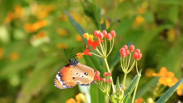 monarch butterfly on flower - butterfly stroke stock videos and b-roll footage