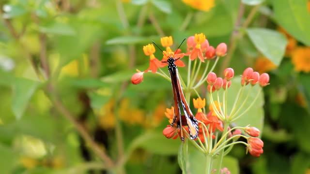 オオカバマダラの花 - 動物の色点の映像素材/bロール
