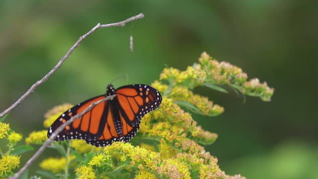 monarch butterfly on golden rod flowers - butterfly insect stock videos & royalty-free footage
