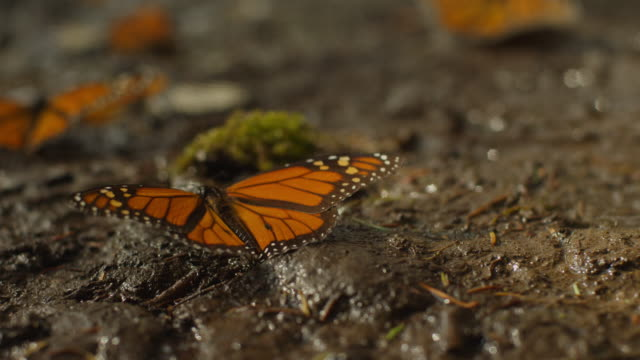 MS Monarch Butterfly on ground flapping wings and taking off