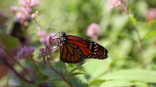 monarch butterfly on milkweed - animal markings stock videos & royalty-free footage
