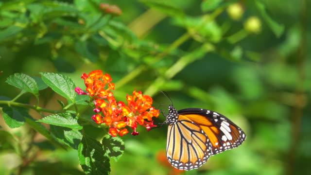 monarch schmetterling auf orange blume - extreme nahaufnahme stock-videos und b-roll-filmmaterial